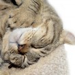 Highland Lynx Cat Asleep - Stock Photo