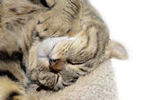 Highland Lynx Cat Asleep — Stock Photo