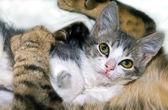 Kitten Feeling Safe and Loved — Stock fotografie