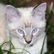 Blue Eyed Kitten — Stock Photo