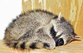 Racoon bambino — Foto Stock
