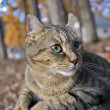 Cute Highlander Lynx Cat Outdoors — Stock Photo