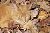 Cat Sleeping in Leaves — Stock Photo