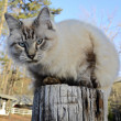 Blue Eyed Cat on Fence Post — Stock Photo