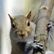 Stock Photo: Squirrel on Tree Limb