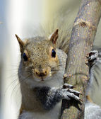 Squirrel on a Tree Limb — Stock Photo