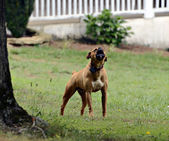 Dog in Yard Barking — Stock Photo