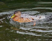 Duck Covered with Water — Stock Photo