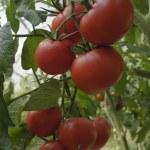 Tomatos on bush — Stock Photo #51062739