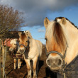 Scandinavian horses — Stock Photo