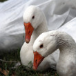 Stock Photo: White geese