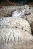 Sheep herd — Stock Photo