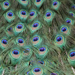Peacock — Stock Photo #14675525