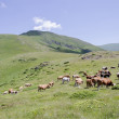 Cows on the mountain — Stock Photo