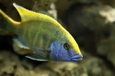 Sleeper cichlid — Stock Photo