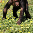 Chimp — Stock Photo #17821187