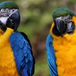 Stock Photo: Macaws
