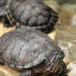 Turtles — Stock Photo #18632651