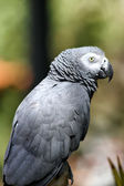 African gray parrot — Stockfoto