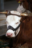 Cow laying in the stable — Stok fotoğraf