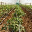 Tomato cultivating in green house — Stock Photo #33319403