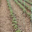 Tomato cultivating in green house — Stock fotografie