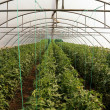 Tomato cultivating in green house — Photo