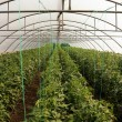 Tomato cultivating in green house — ストック写真
