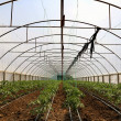 Tomato cultivating in green house — Foto de Stock