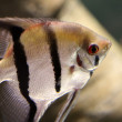 Tropical fish — Stock Photo #39934931