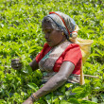 Tea plantation in Nuwara, Sri Lanka — Stock Photo