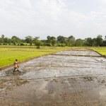 Rice fields in Dambulla, Sri Lanka — Stock Photo #44074123
