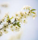 Spring tree blossom — Stock Photo
