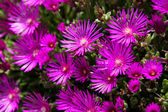 Hardy ice plant (Delosperma cooperi) — Stock Photo