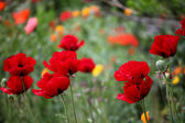Poppies in the field — Stock Photo
