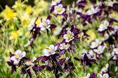 Aquilegia květiny — Stock fotografie
