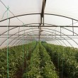 Tomato cultivating in green house — Stock Photo #46491265