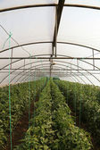 Tomato cultivating in green house — Stock Photo