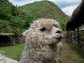 Huacaya alpacka — Stockfoto