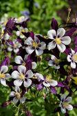 Aquilegia flowers — Stock Photo