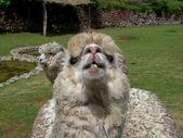 Huacaya alpaca — Stock Photo