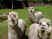 Huacaya alpaca — Stock Photo