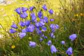 Wild flowers campanula in moutains — Stock Photo