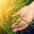 Hand and ripe wheat ears in warm sunlight - Stockfoto