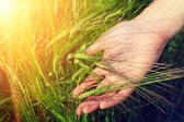 Hand and ripe wheat ears in warm sunlight — Foto Stock