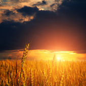 Wheat ears and sunset sky — Stock Photo
