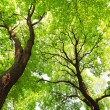 Trees with green leaves canopy — Stock Photo #43612809