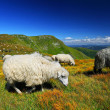 Herd of sheeps on mountain pasture — Stock Photo