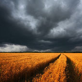 Ripe wheat field and dramatic clouds — Stock Photo
