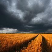 Champ de blé mûr et nuages dramatiques — Photo